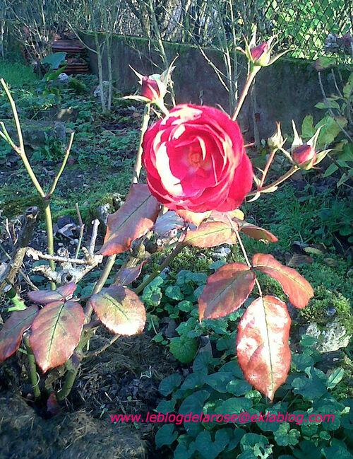 Rose rouge ensoleillée/Sunny red rose