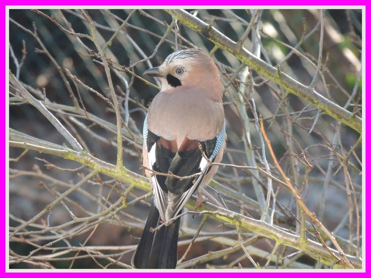 Oiseau de nos jardins.Le geai.Images gratuites