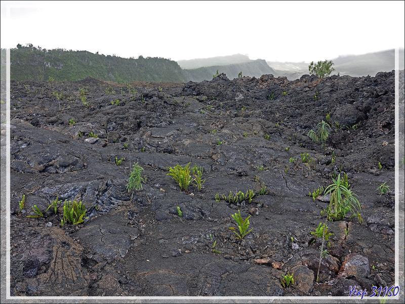 La végétation colonise lentement les coulées de lave du Piton de la Fournaise - Saint-Philippe - Île de la Réunion