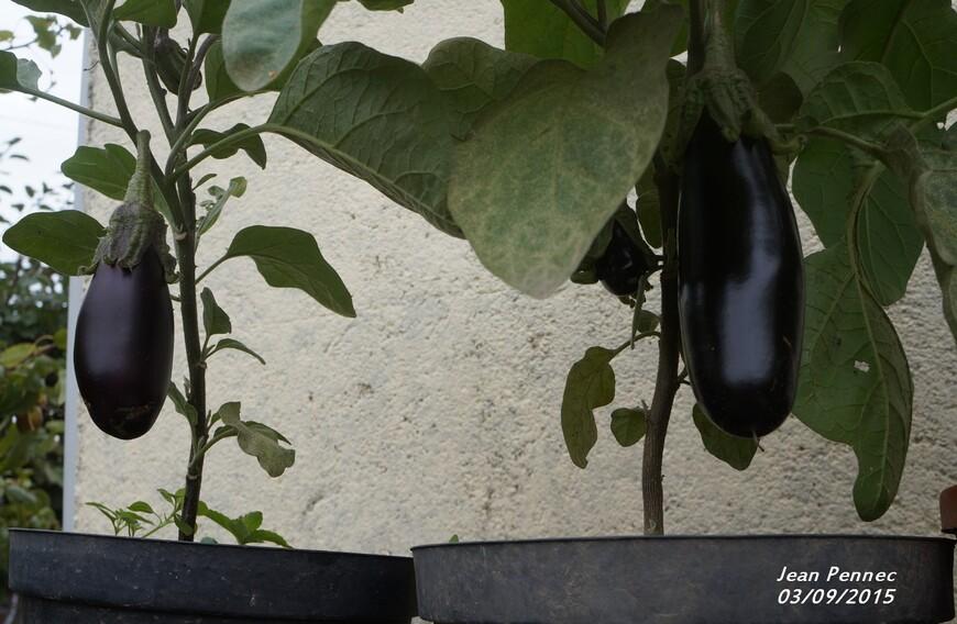 Les aubergines en pot