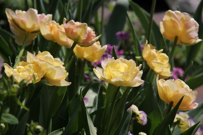 Tulipes 2014 : Sweet Desire