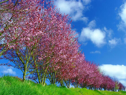 """"""""""" Les arbres  à  floraison de couleur  """" rose"""". & des statues."""""""""""""""