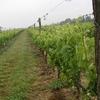 Vignes non-loin de Saintes