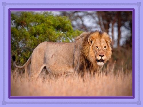 Des lions qui rôdent