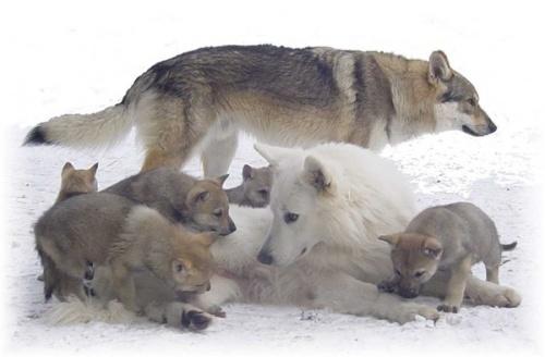 ♥ Mes images de Loups ♥