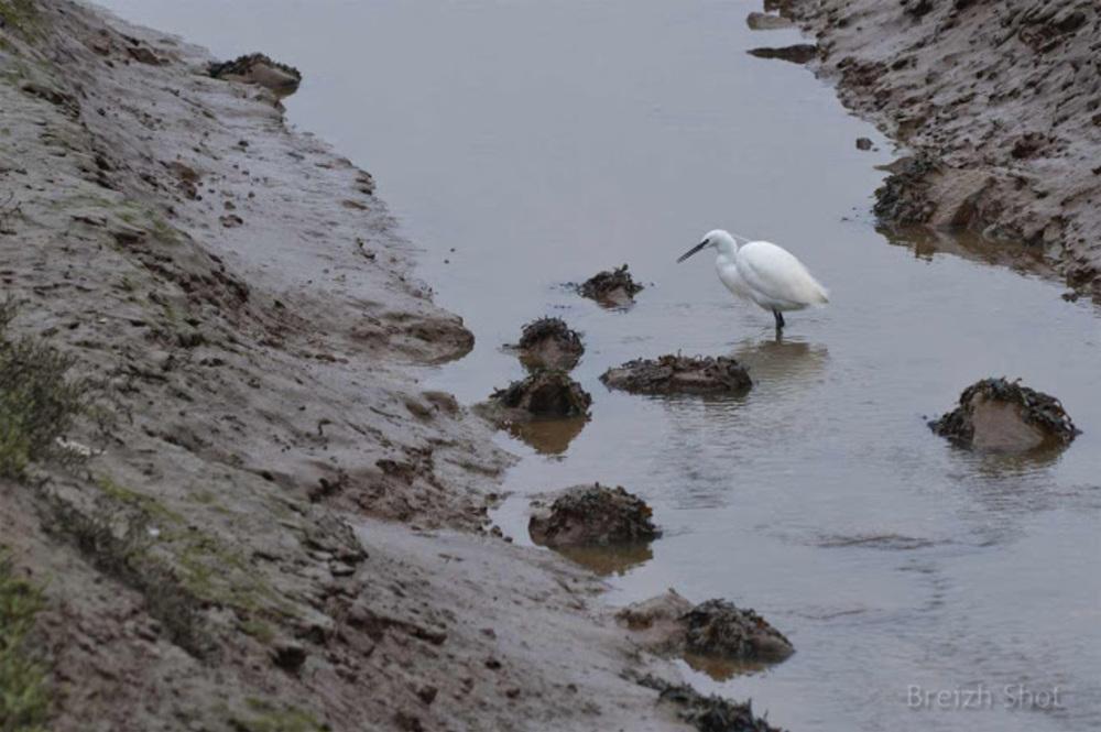 Les étiers de Guérande : Marée basse dans le marais salant : Une aigrette garzette dans un étier