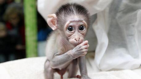 Le sauvetage du bébé singe