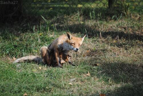 (8) Le renard roux.