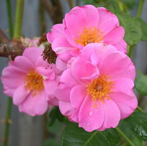 Les Roses de Warren : Dorotea