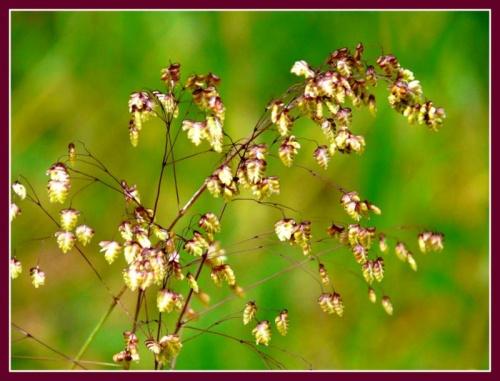 Amourette- fleur