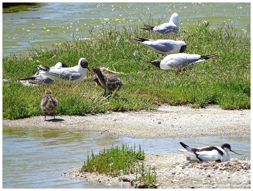 mouette rieuse et ses bébés, sur le nid, avocette élégante
