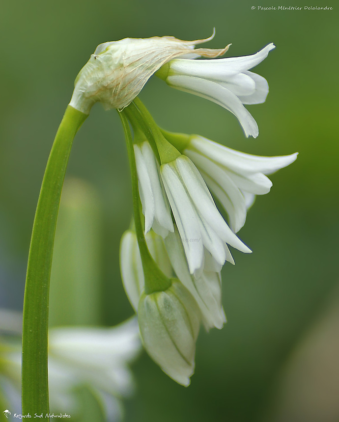 Allium triquetrum - L'ail à trois angles ou ail triquètre