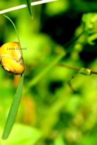 Cepaea Hortensis ou Escargot des Jardins