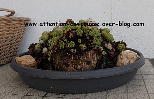 tortue-sempervivums-12.jpg