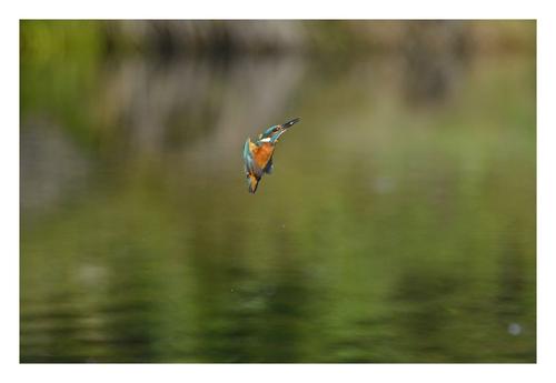 Le Martin pêcheur à la pêche