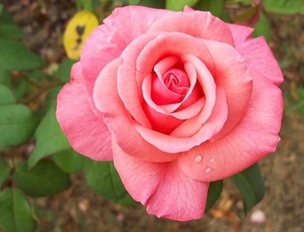 rose-rose-10.jpg