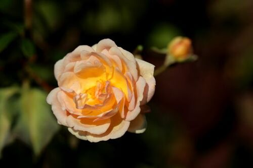 Dernières roses...