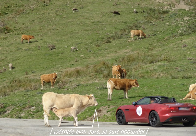 Les vaches du col d'Aspin