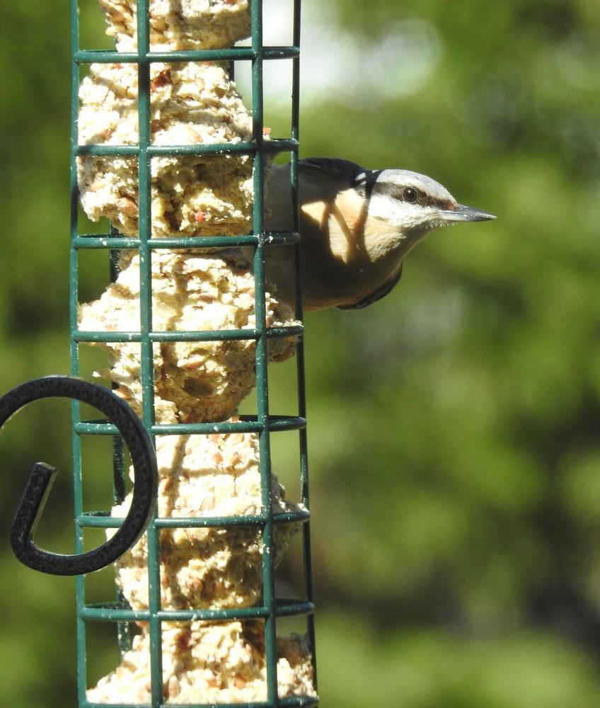 Les oiseaux de mon jardin : les sitelles torchepot, printemps 2018...