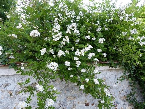 21 Décembre, 13 degrés boutures de rosa multiflora inermis