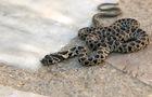 Cobra de Ferradura