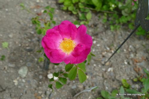 Et rose elle a vécu