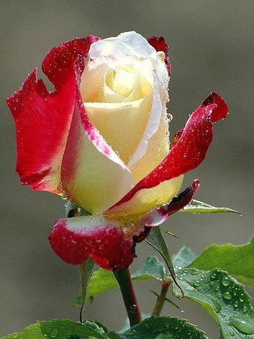 Png Free Download Flower : Rose