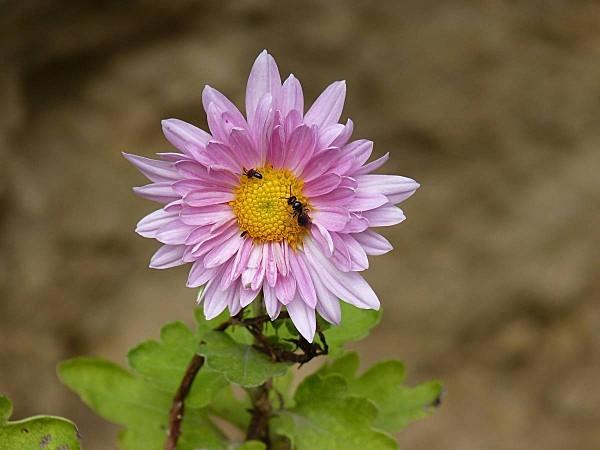 Chrysanthème Insectes