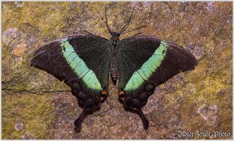 Papillons Exotiques