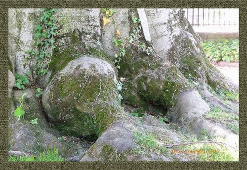 Hêtre en herbier poésie :