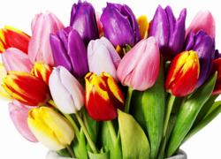 Une belle Tulipe