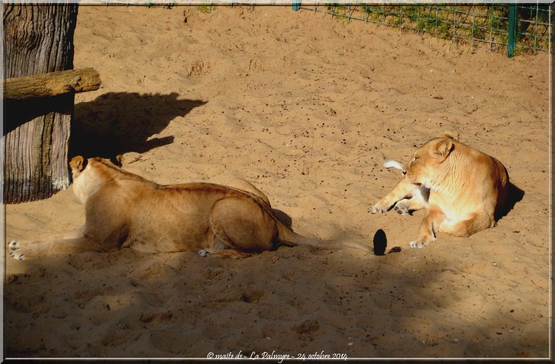 Lions - Zoo de la Palmyre - Charente-Maritime (4)