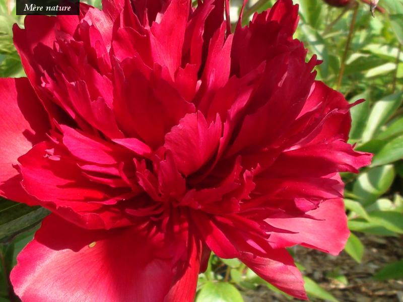 Fleurs des jardins