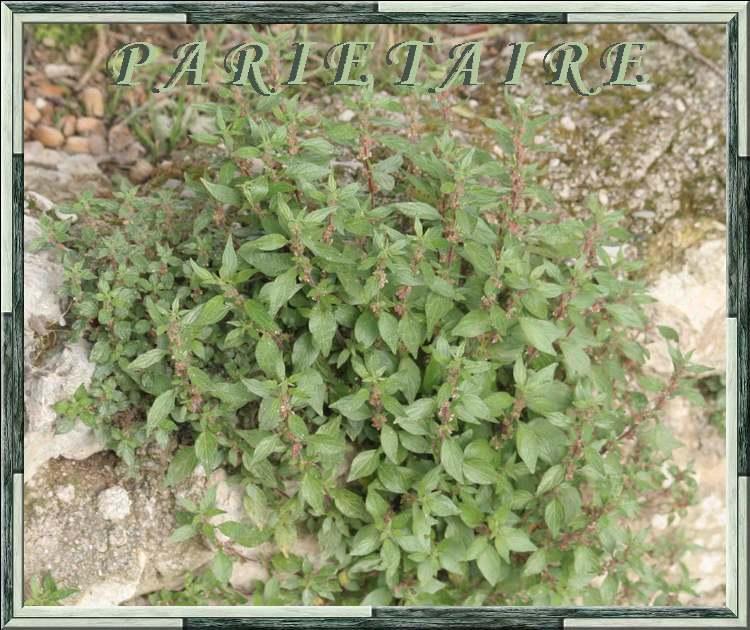 Vertus médicinales des plantes sauvages : Pariétaire