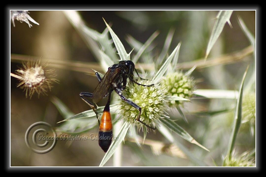 Ammophila sabulosa...
