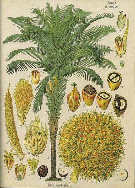 http://ekladata.com/H84luZdVEbfy1468RElI-wAHg4Y/Palmier-a-huile-Elaeis-guineensis-Kohler-s-Medizinal-Pflanzen.jpg