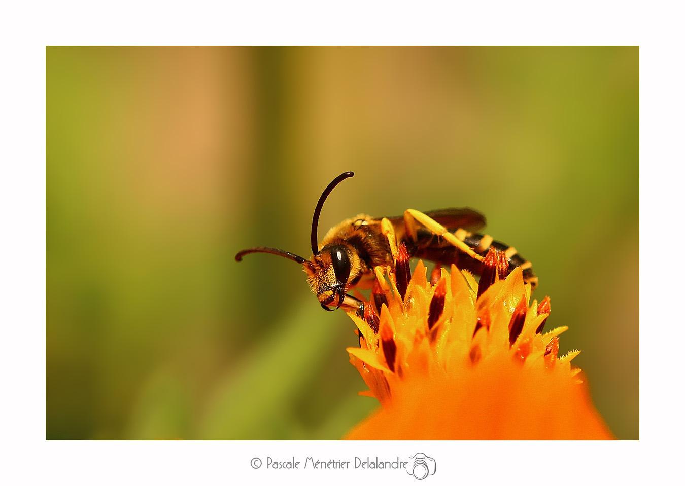 Halictus ♂ (Abeille solitaire)