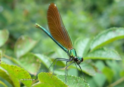 """Caloptéryx éclatant ou """"Demoiselle"""""""