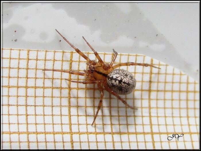 Stemonyphantes lineatus.