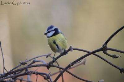 Blog de jephotographie :jephotographie, mésange bleue avec sa hupette