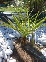 Jubaea chilensis n°2 - année 2014