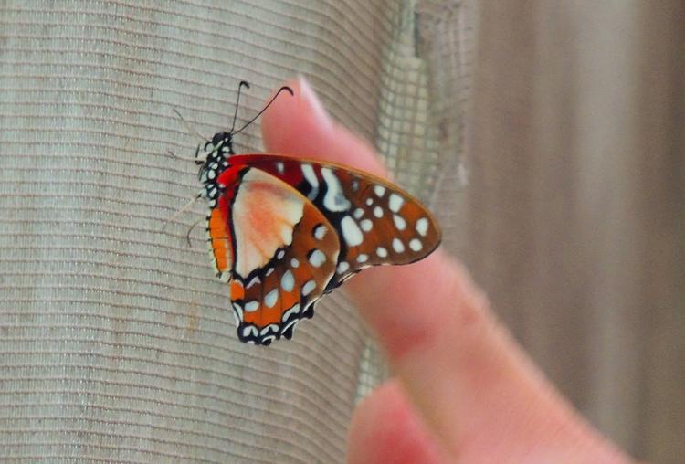 Papillons exotiques.(3).Amérique du Sud.Images gratuites.Par Jipé