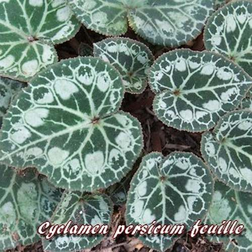 Fleurs cultivées : Cyclamen