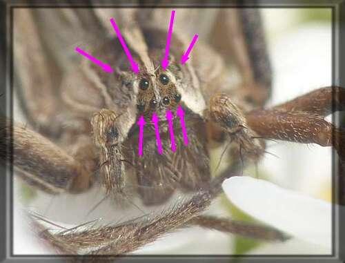 Les yeux des araignées
