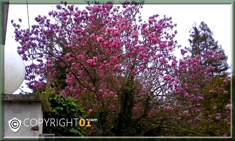 des sous-bois de tulipes en mélange de couleurs ,variétés apeldorm