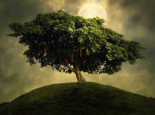 L'arbre de vie celui qui a guéri du scorbut l'équipage de Jacques Cartier.