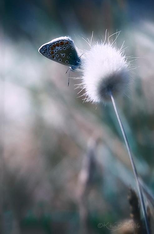 Argus bleu ♀