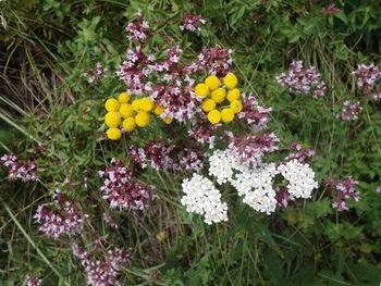 Bouquet de fleurs: tanaisie (jaune), achillée (blanc), origan (pourpre)