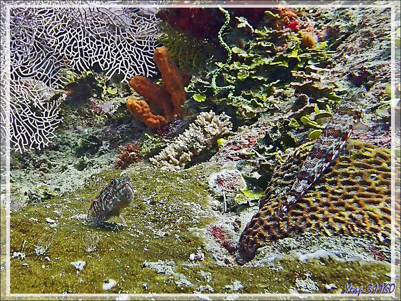 Poisson-lézard à ligne bleu, Anoli de sable, Clearfin lizardfish (Synodus dermatogenys) - Bank des Frères - Tsarabanjina - Mitsio - Madagascar