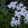 Valériane des montagnes (Valeriana montana) blanche